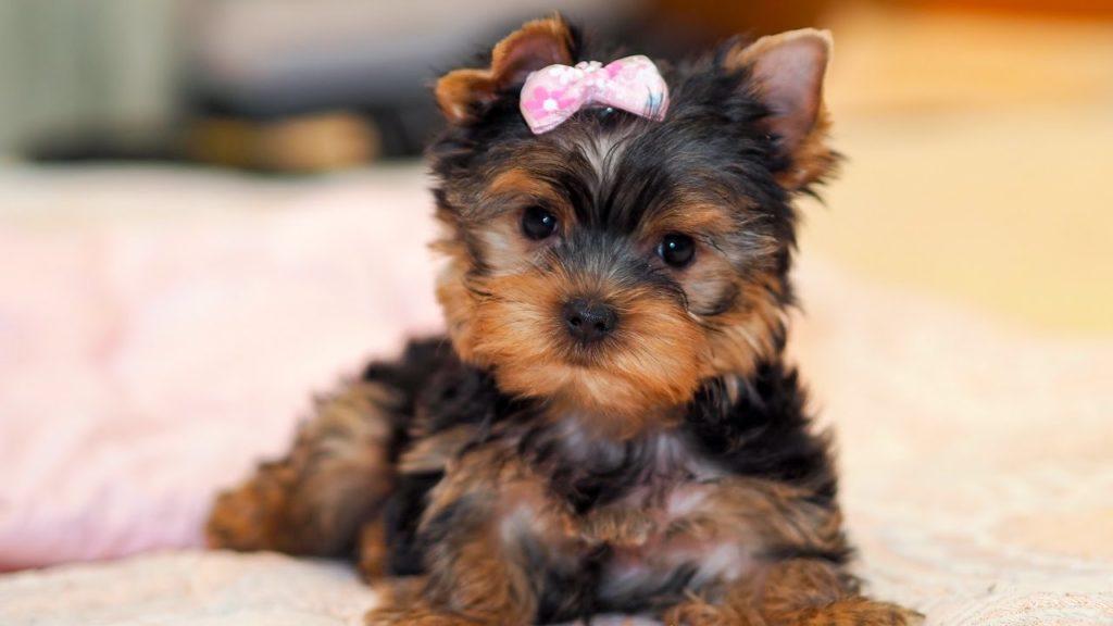 маленький щенок йорка